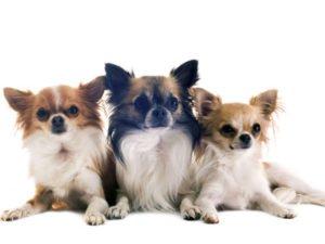 Langhaar-Chihuahua