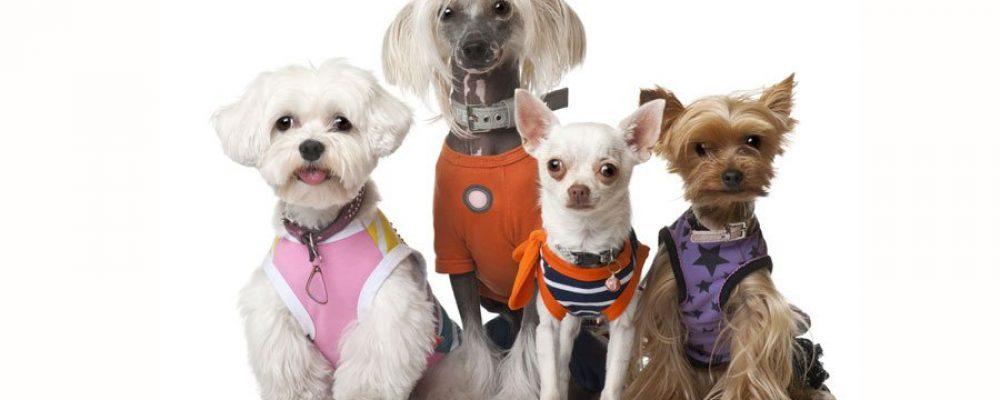 Kleine Hunderassen und ihre Portraits