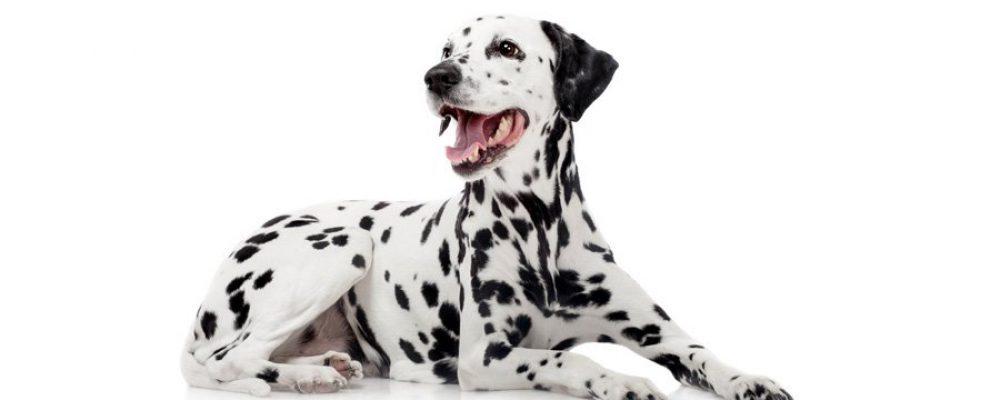 Dalmatiner, der Familienhund
